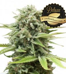 las mejores semillas marihuana