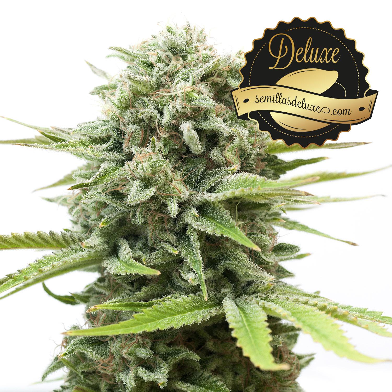 semillas marihuana feminizadas